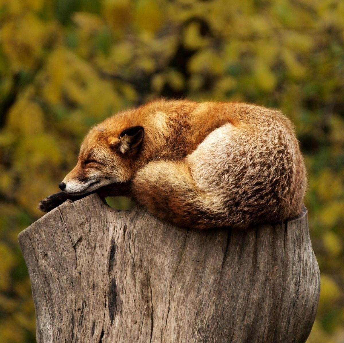 https://www.hladinaalfa.cz/wp-content/uploads/2019/11/fox_s.jpg